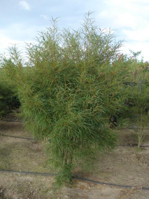 Krušina olšová 'Asplenifolium' - Rhamnus frangula 'Asplenifolium'