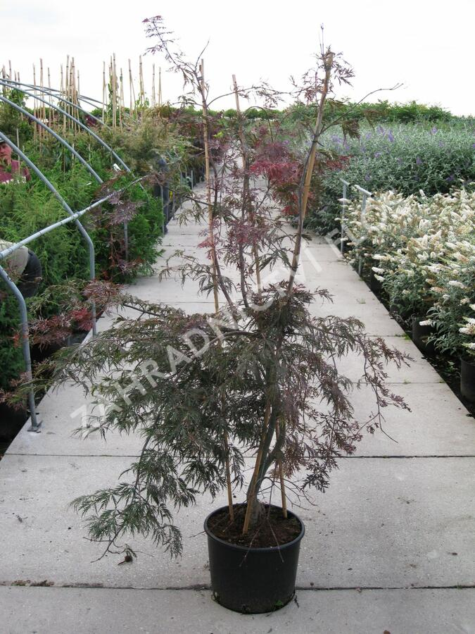 Javor dlanitolistý 'Garnet' - Acer palmatum 'Garnet'