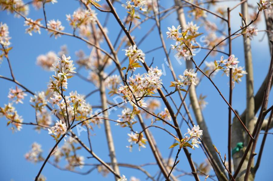 Muchovník velkokvětý 'Robin Hill' - Amelanchier grandiflora 'Robin Hill'