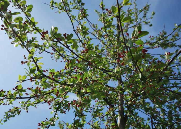 Jabloň mnohokvětá - Malus floribunda
