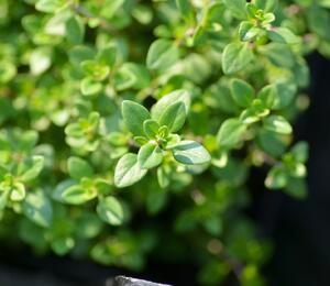 Mateřídouška 'Limone' - Thymus x citriodorus 'Limone'