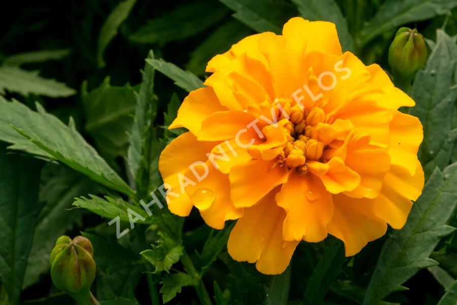 Aksamitník rozkladitý, afrikán 'Texana Gold' - Tagetes patula 'Texana Gold'