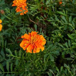 Aksamitník rozkladitý, afrikán 'Aton Orange' - Tagetes patula 'Aton Orange'