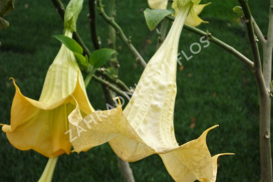 Durman 'Yellow' - Brugmansia (Datura) arborea 'Yellow'