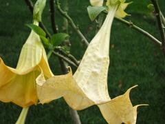 Durman 'Yellow' - Brugmansia (Datura) arborea 'Yellow'