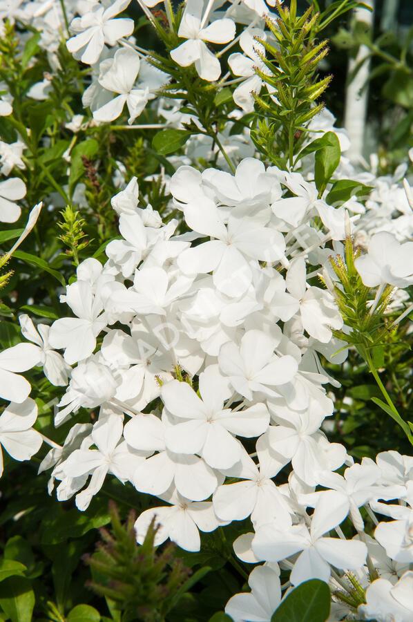 Olověnec 'White' - Plumbago auriculata 'White'
