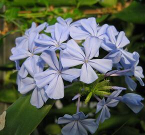 Olověnec 'Blue' - Plumbago auriculata 'Blue'