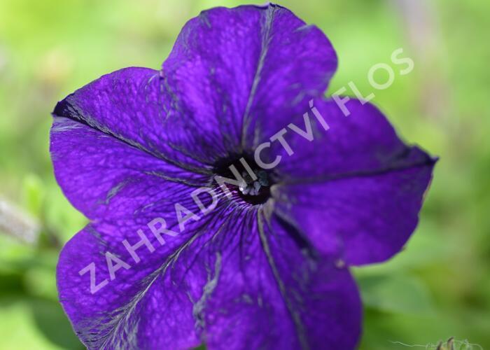 Petúnie 'Blue' - Petunia hybrida Surfinia 'Blue'