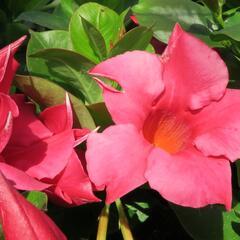 Diplandénie 'Rio Hot Pink' - Mandevilla sanderi 'Rio Hot Pink'