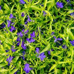 Lobelka 'Dark Blue' - Lobelia erinus 'Dark Blue'
