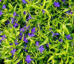 Lobelka 'Dark Blue' - Lobelia erinus 'Dark Blue'
