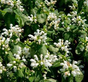 Hluchavka skvrnitá 'White Nancy' - Lamium maculatum 'White Nancy'