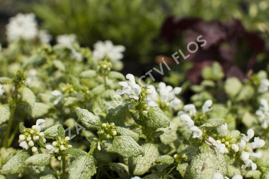 Hluchavka skvrnitá 'White Nancy' - Lamium maculatum 'White Nancy'
