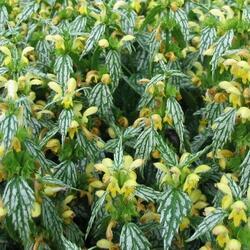 Hluchavka skvrnitá 'Herman's Pride' - Lamium maculatum 'Herman's Pride'