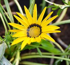 Gazánie zářivá 'Impressa Yellow with Ring' - Gazania rigens 'Impressa Yellow with Ring'
