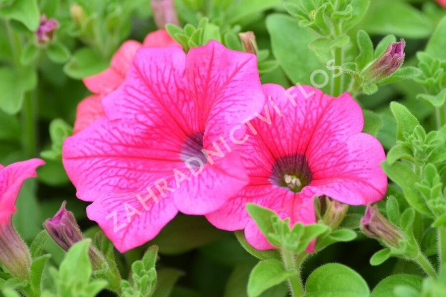 Petúnie 'Hot Pink' - Petunia hybrida Surfinia 'Hot Pink'