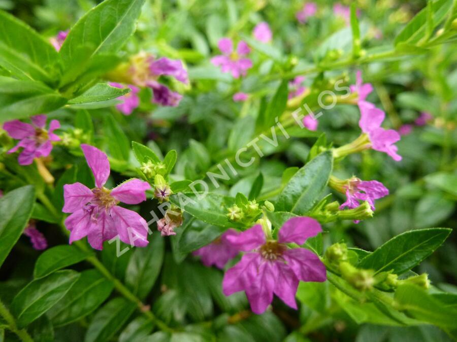 Kufea, hlazenec ohnivý 'Lila' - Cuphea hyssopifolia 'Lila'
