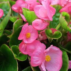 Begónie stálokvětá, ledovka, voskovka 'Rose' - Begonia semperflorens 'Rose'