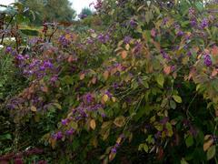 Krásnoplodka Bodinierova - Callicarpa bodinieri