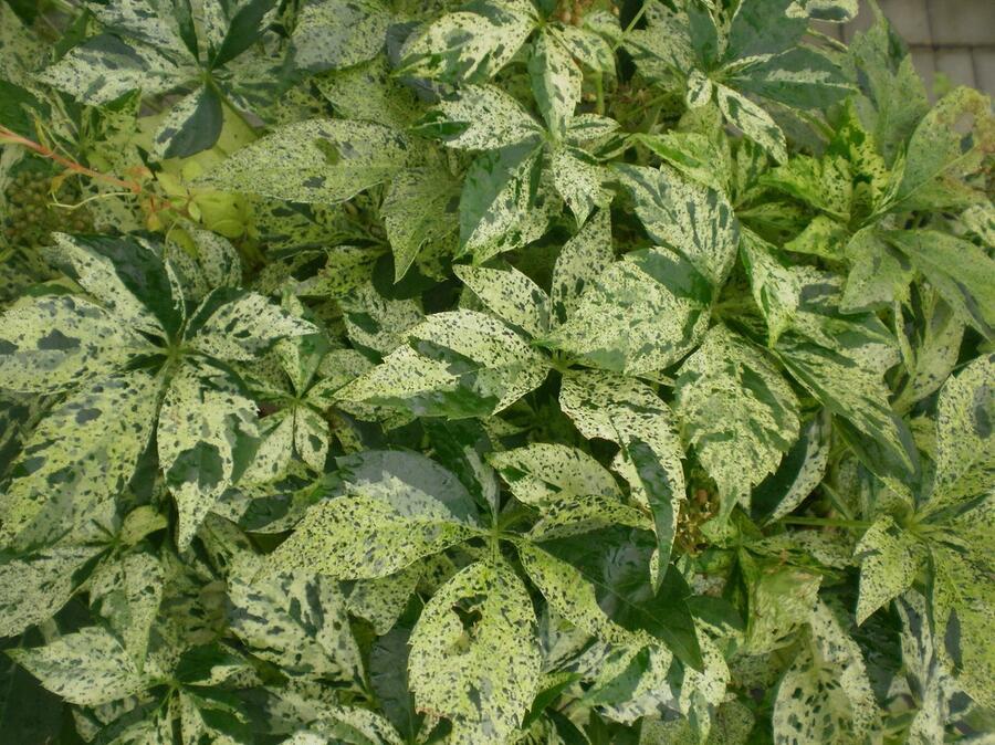 Přísavník pětilistý, loubinec 'Star Shower' - Parthenocissus quinquefolia 'Star Shower'