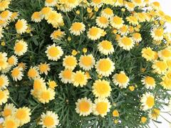 Kopretina pařížská 'Molimba Double Yellow' - Argyranthemum frutescens 'Molimba Double Yellow'
