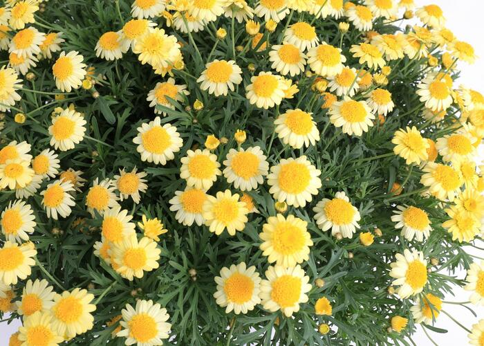Kopretina pařížská 'Molimba Double Yellow' - Argyranthemum frutescens 'Molimba Double Yellow'