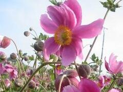 Sasanka japonská 'Rosenschale' - Anemone japonica 'Rosenschale'