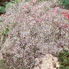 Šater latnatý 'Bristol Fairy' - Gypsophila paniculata 'Bristol Fairy'