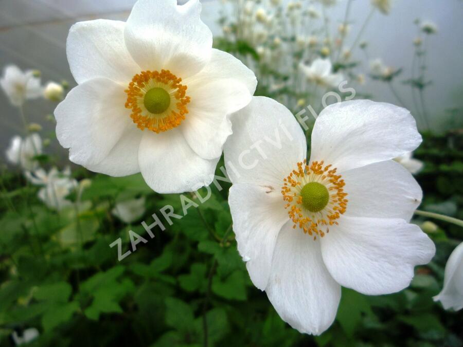 Sasanka japonská 'Honorine Jobert' - Anemone japonica 'Honorine Jobert'