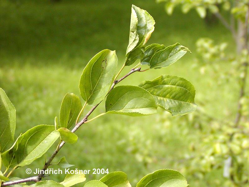 Řešetlák počistivý - Rhamnus catharticus