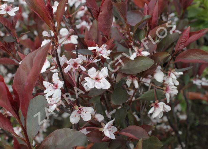 Myrobalán cistena 'Crimson Dwarf' - Prunus cistena 'Crimson Dwarf'