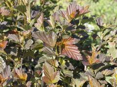 Tavola kalinolistá 'André' - Physocarpus opulifolius 'André'