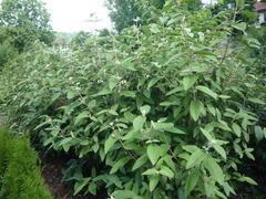 Kalina vrásčitolistá 'Willowwood' - Viburnum rhytidophyllum 'Willowwood'