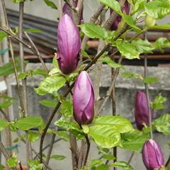 Šácholan obvejčitý 'Purpurea' - Magnolia obovata 'Purpurea'
