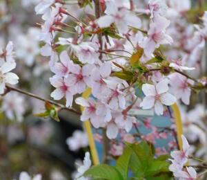 Třešeň kurilská 'Ruby' - Prunus kurilensis 'Ruby'