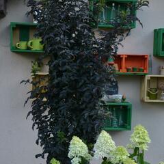 Bez černý 'Black Tower' - Sambucus nigra 'Black Tower'