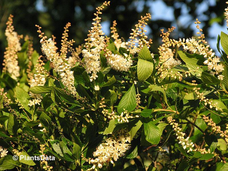 Jochovec olšolistý - Clethra alnifolia