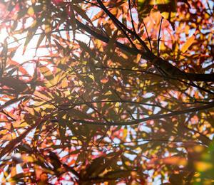 Javor dlanitolistý 'Red Pygmy' - Acer palmatum 'Red Pygmy'
