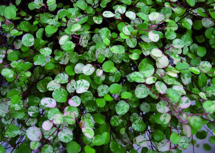 Muehlenbeckia complexa 'Tricolor' - Muehlenbeckia complexa 'Tricolor'