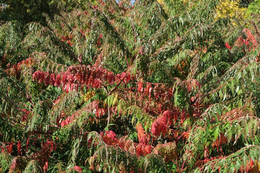 Škumpa 'Lacinata' - Rhus glabra 'Laciniata'