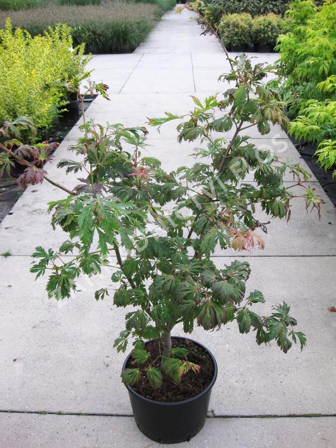 Javor japonský 'Aconitifolium' - Acer japonicum 'Aconitifolium'