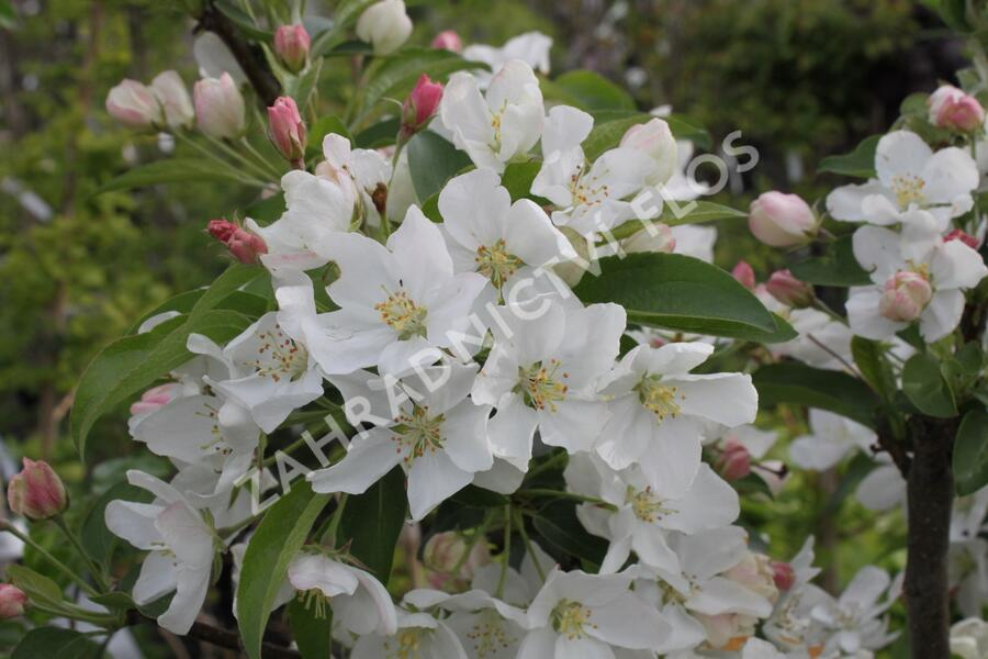 Okrasná jabloň 'White Angel' - Malus 'White Angel'