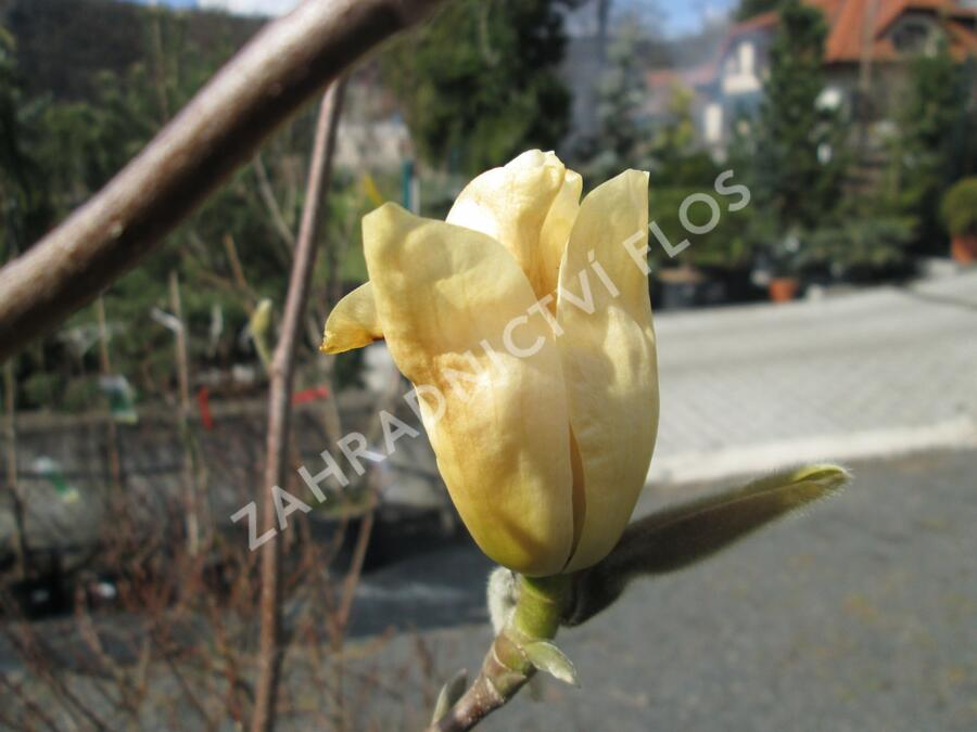 Šácholan 'Yellow River' - Magnolia 'Yellow River'