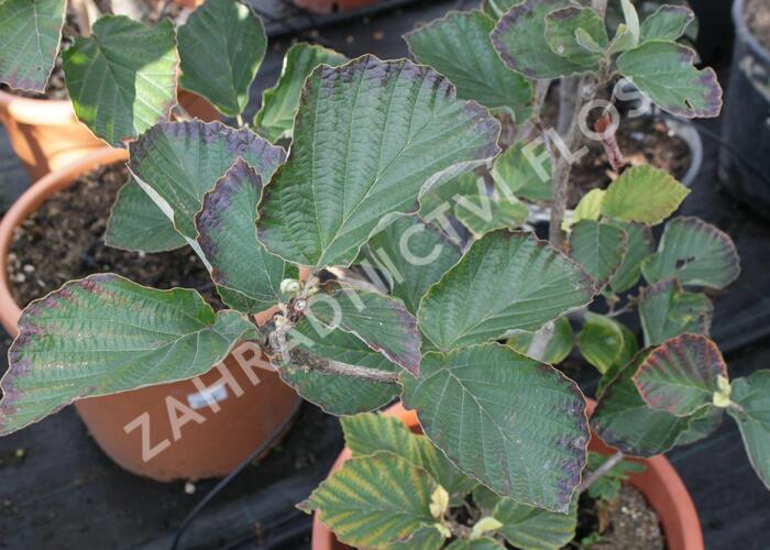 Vilín prostřední 'Yamina' - Hamamelis intermedia 'Yamina'