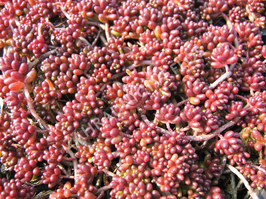 Rozchodník bílý 'Coral Carpet' - Sedum album 'Coral Carpet'