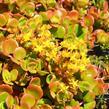 Rozchodník 'Coral Reef' - Sedum tetractinum 'Coral Reef'