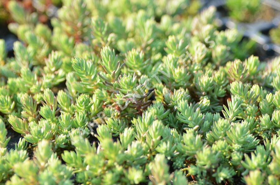 Rozchodník 'Silver Stone' - Sedum forsterianum ssp. elegans 'Silver Stone'