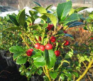 Cesmína obecná 'Alaska' - Ilex aquifolium 'Alaska'