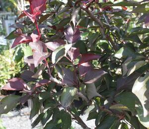 Myrobalán Blireův - Prunus blireana