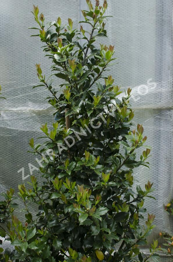Cesmína 'Blue Maid' - Ilex meserveae 'Blue Maid'